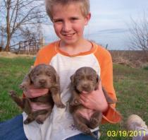 Daxton and two Silver female puppies
