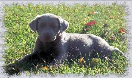 Facts and information about Silver Labradors and Charcoal Labradors