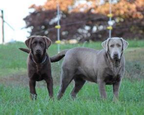 Shimmering Silver Labradors, Raising and breeding AKC Silver